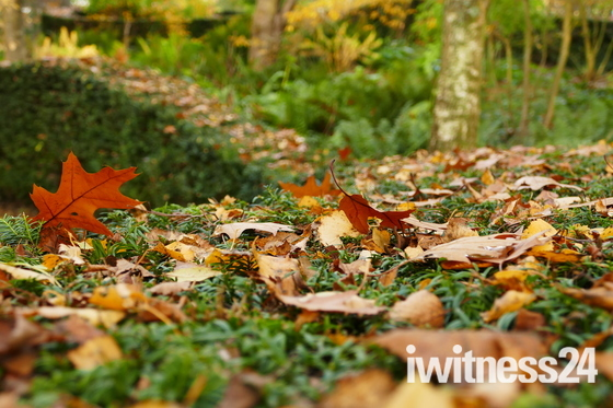 FALLEN LEAVES ON THE HEDGE