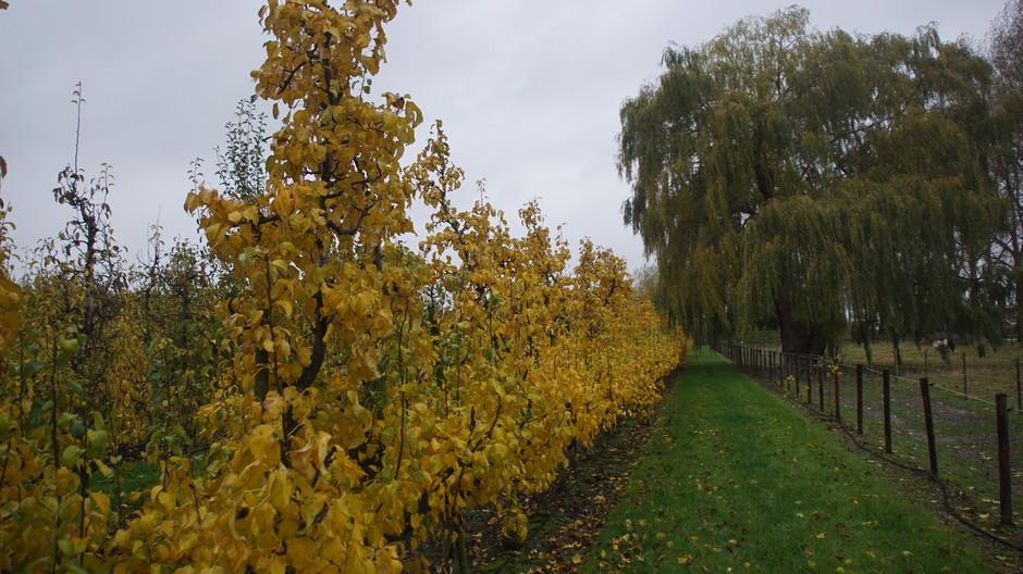 grijs weer met herfstkleuren aan de perenbomen