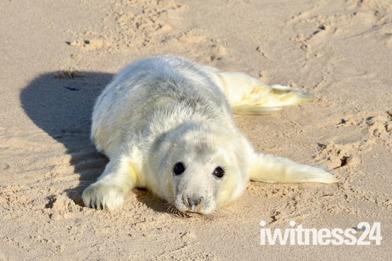 Newborn seal babies at Horsey
