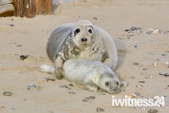 Newborn seal babies at Horsey