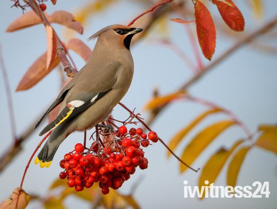 Waxwing in Suffolk