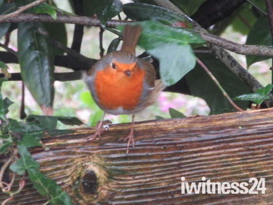 A robin spotted in the garden.