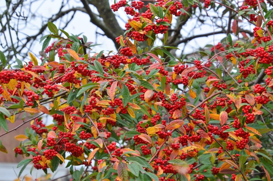 rood in de herfst