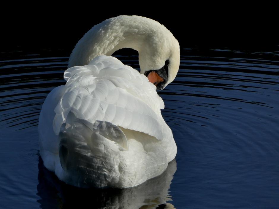 De onovertroffen schoonheid onder de watervogels