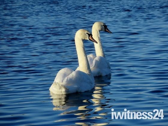 Swans .