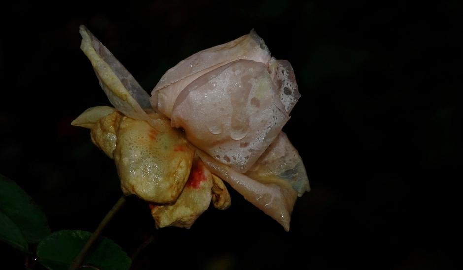 De laatste Rozen [uitgebloeide]  vanmorgen met dauw en regendruppels
