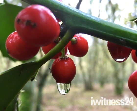 Raindrops on the holly berries