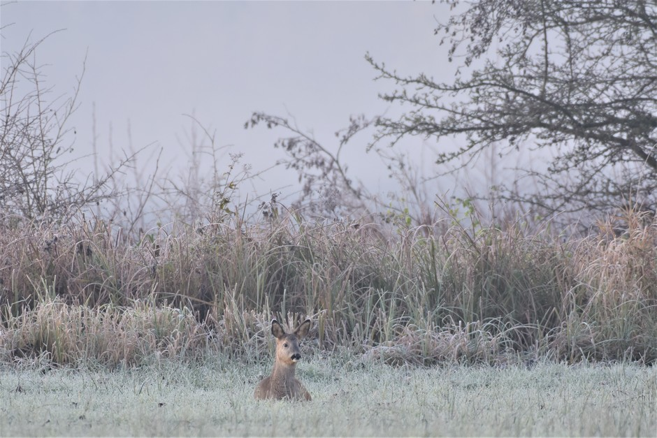 Ree in het bevroren gras
