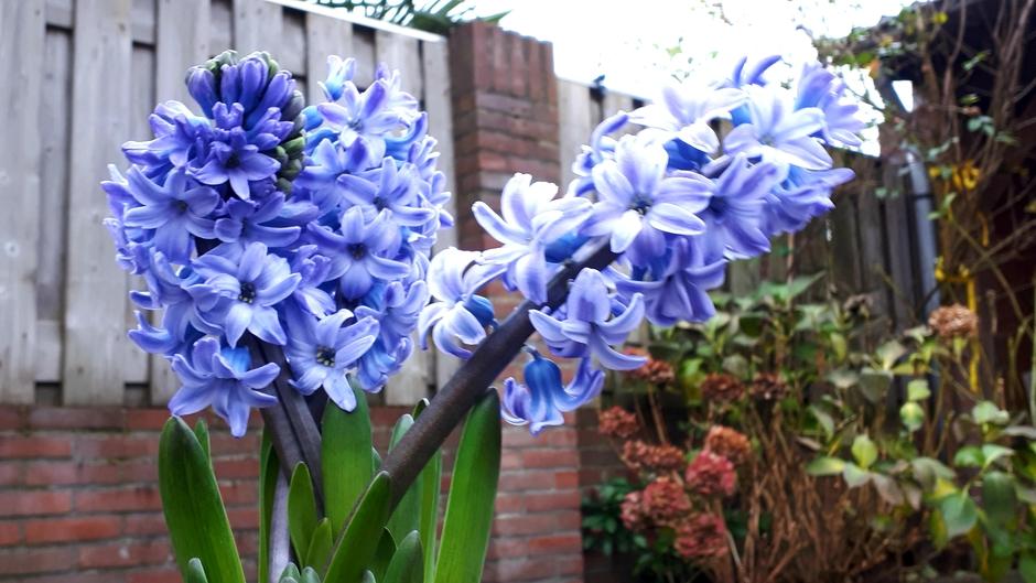 Hyacintentijd  !!