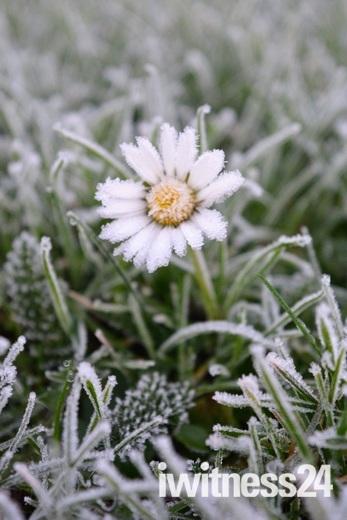 Project 52- Frost  A frozen Daisy