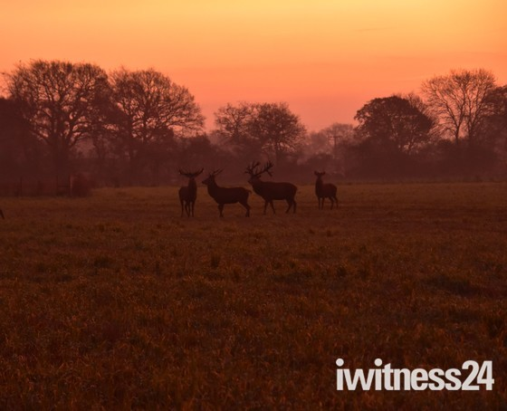 Deers at Dawn