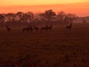 Deers at Dawn