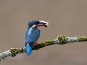 Kingfisher Shots