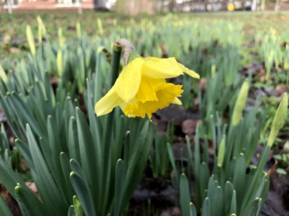 Narcis in volle bloei