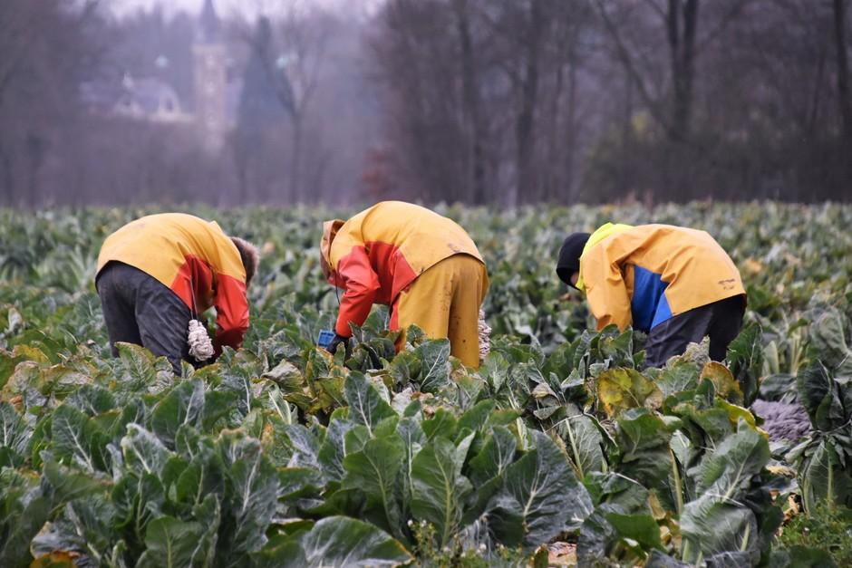 Bloemkolen oogsten