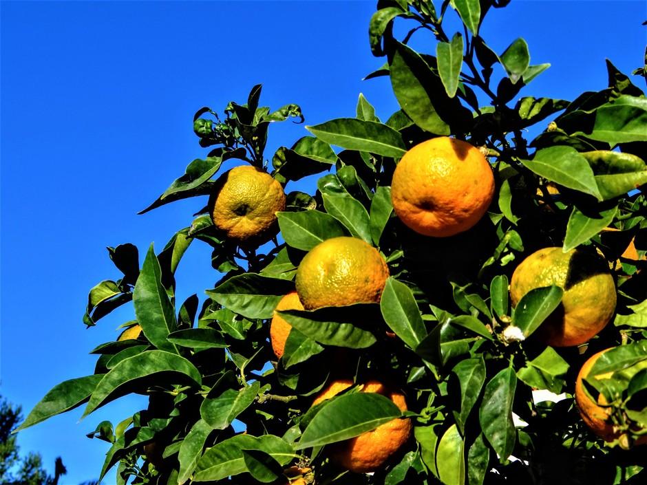 Mandarijnenboom