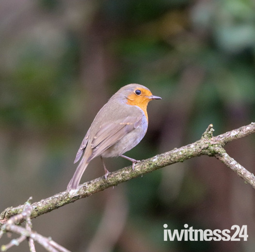 Robin red breast uk favourite bird
