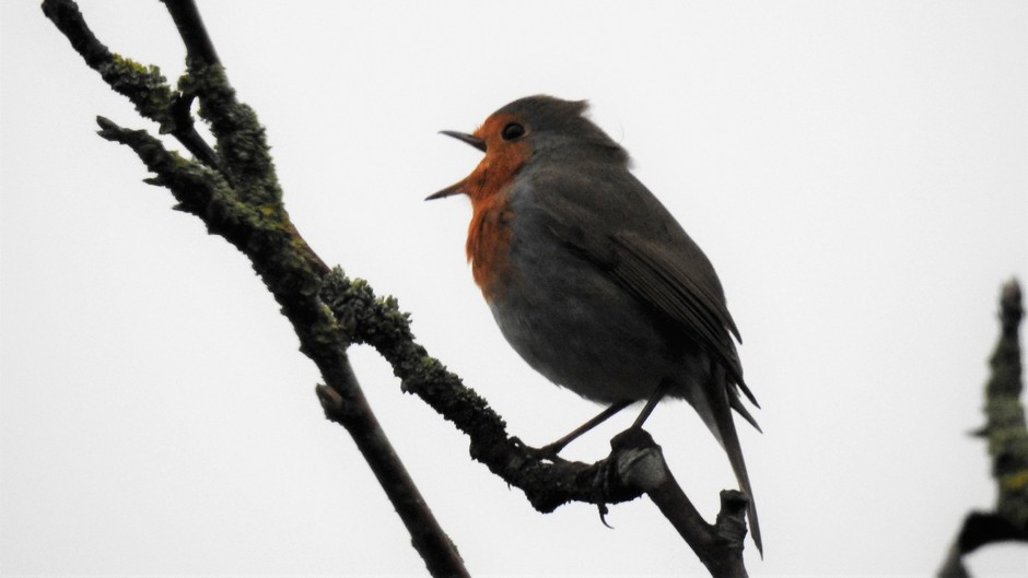 Roodborstje zingt zijn lied.