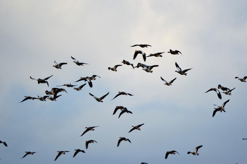 ganzen in de lucht