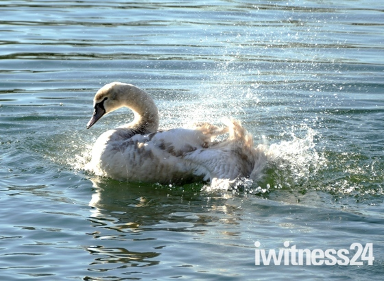 Swan Splish Splashing.( Challenge )