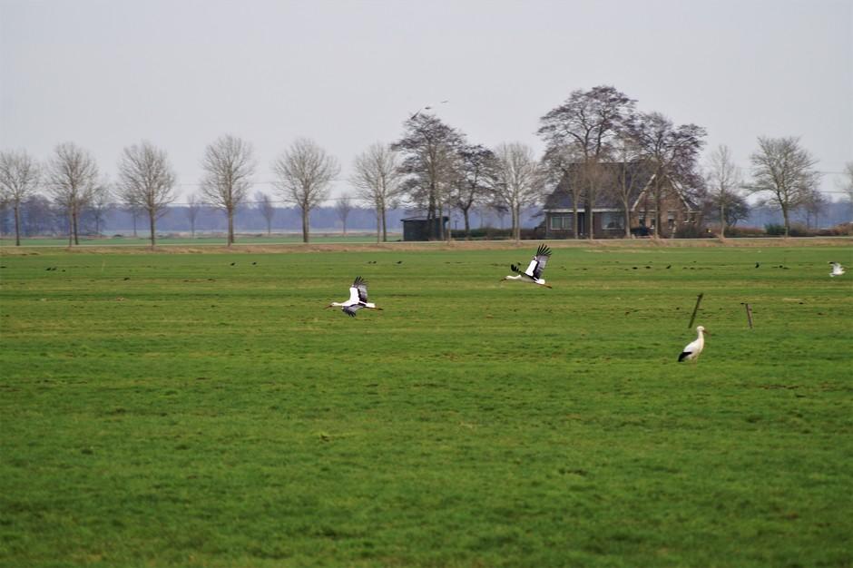 Ooievaars  in Friesland