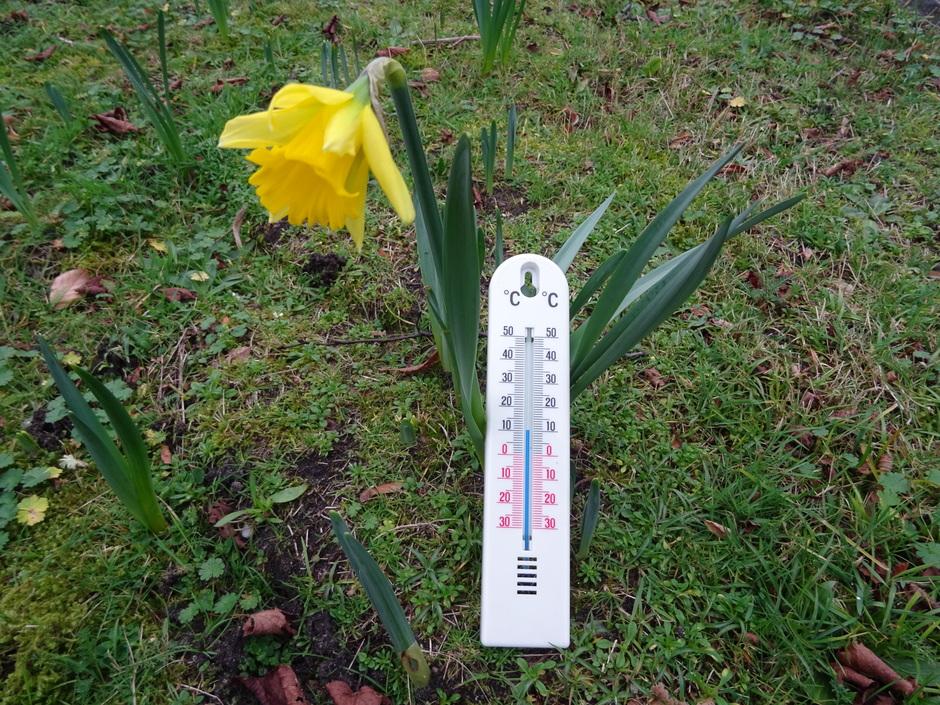 De narcissen staan in bloei met het zachte winterweer