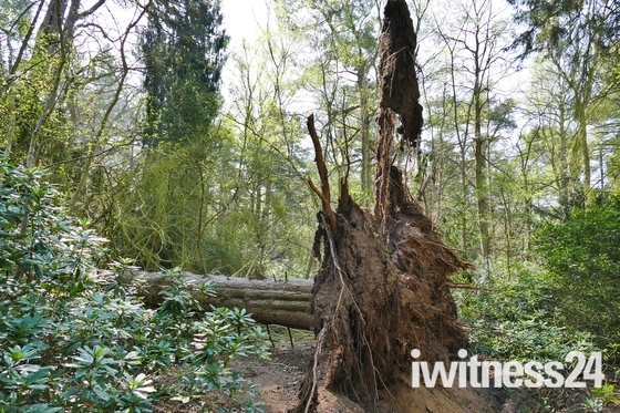 PROJ 52, WEATHER, FALLEN TREE IN GALES