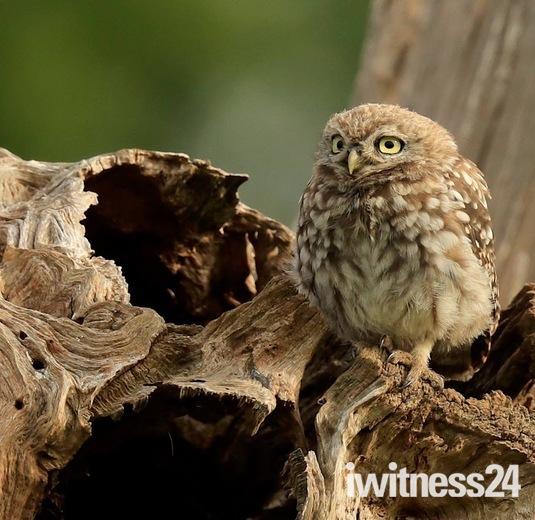 Owl on guard.
