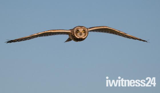 Short-eared owl flew close