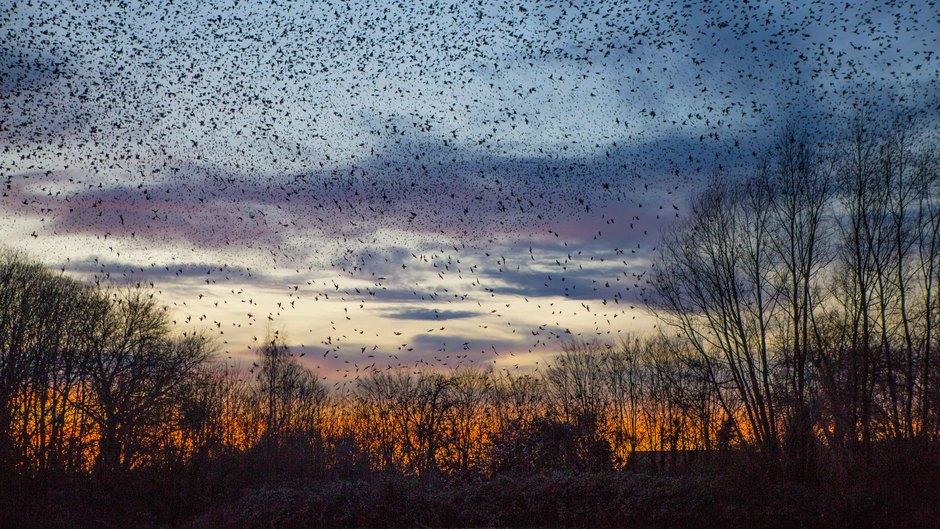 Veel spreeuwen vallen de struiken in bij zonsondergang in West Betuwe