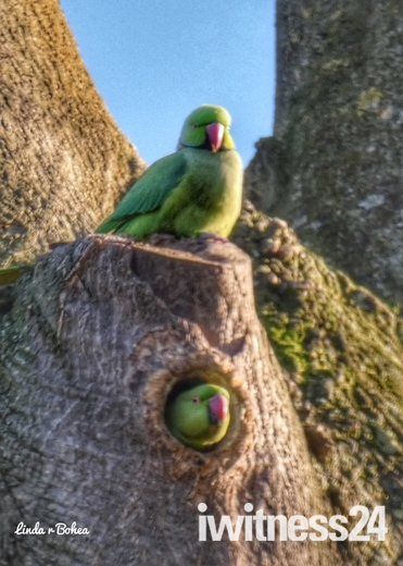 Courting Parakeets