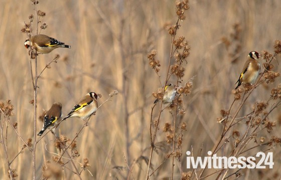 Gold Finches in the reeds