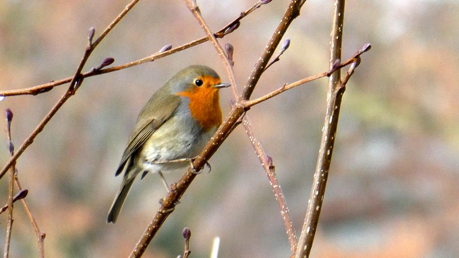 roodborstje zingt het voorjaar in