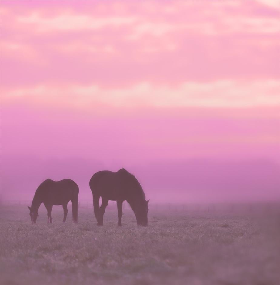 Grazende Paarden in Roze Zonsopgang