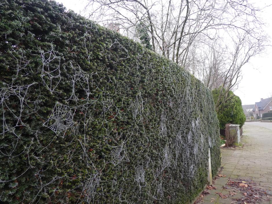 Haag vol spinnenwebben.