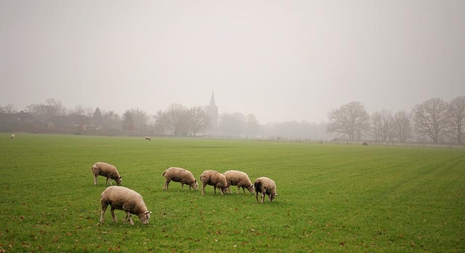 Koud en nevelig. De schaapjes op het droge..