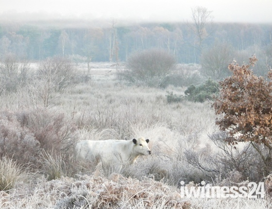 Project 52..camouflaged hidden cow