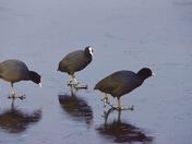 Dancing on ice At RSPB Strumpshaw Fen