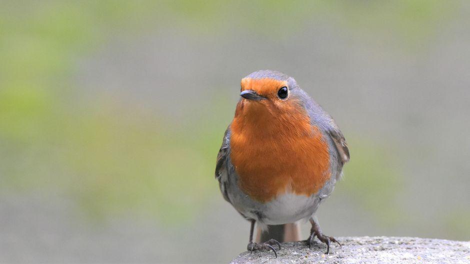 Een zachte winter, klimaatverandering. Dit moet van invloed zijn op de vogeltelling van 2020. Ik ben nu al benieuwd naar de uitslag. Druk met vogeltjes tellen ..
