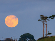 Moonrise over pines