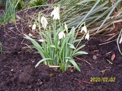 Snowdrops in bloom at Manor Gardens
