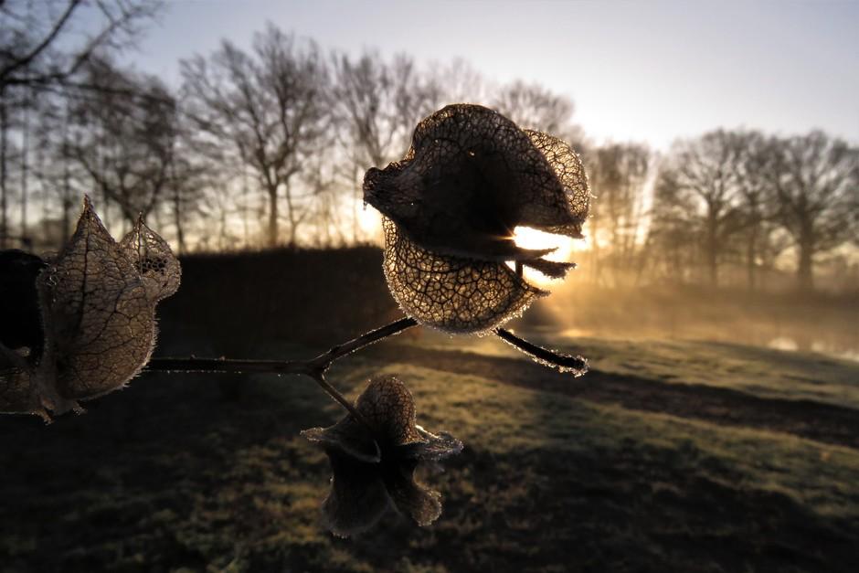 Bevroren zaaddozen van zegekruid