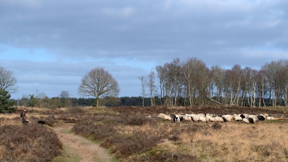 Herder met hond en kudde bij prachtig weer op de heide