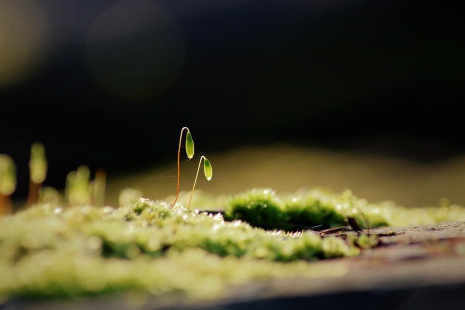 Bloeiend mos