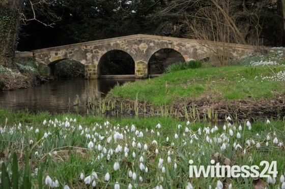 Snowdrops at Walsingham