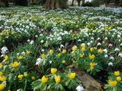 Snowdrops at Raveningham Hall