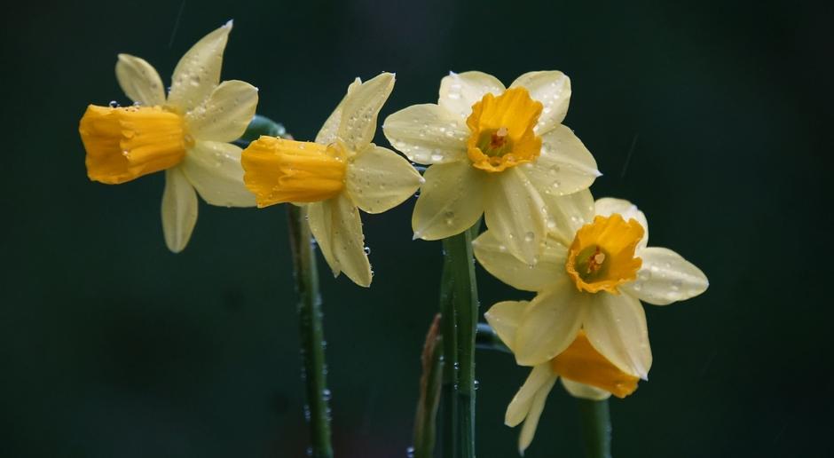 De Narcissen vanmorgen met regendruppels.