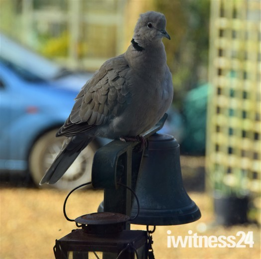 Collared Dove Collared