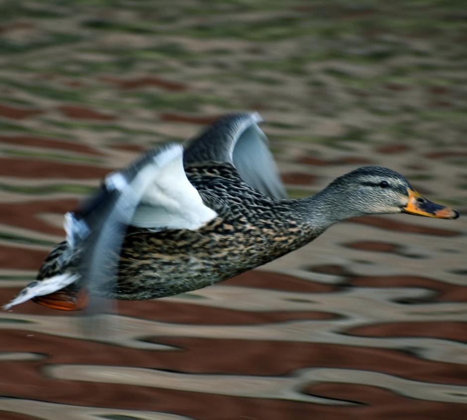 Een vrouwtjes eend in vlucht naar haar Valentijn.