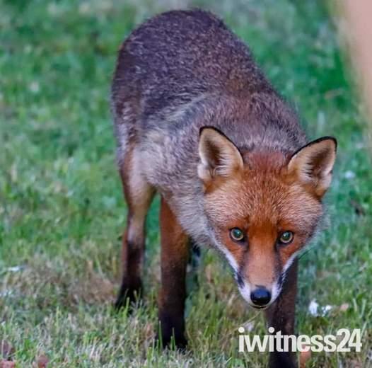 Neighbourhood foxes